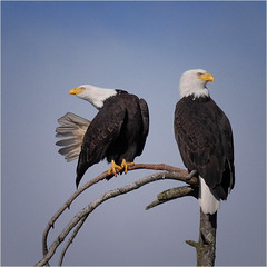 sitting pretty (marneejill) Tags: bald tail feathers fan two pair french creek bc parksville