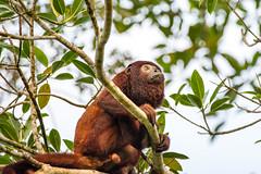 Red howler monkey- Hurleur roux ..Manu/Peru (geolis06) Tags: geolis06 pérou peru perú amériquedusud southamerica manu amazonie amazonia rainforest jungle forêt forest madrededios biospherereserve parcnationaldemanú manúnationalpark 2016 patrimoinemondial unesco unescoworldheritage unescosite pantiacollatour nikon nikond7200 sigma sigma150600mmf563dgoshsmcontemporary primate monkey singe alouattaseniculus redhowlermonkey hurleur roux hurleurroux