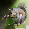 A diet to stick to. (muppet1970) Tags: squirrel stick eating post grey christchurchpark ipswich nature wildlife diet