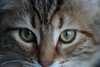 I'm alive (LACPIXEL) Tags: macromondays macro itsalive eyes cat kitten chaton gatito yeux ojos mirada regard look amy inside intérieur interior lumièrenaturelle naturallight luznatural couleurs colores colours nikon nikonfr nikonfrance d4s fx flickr lacpixel