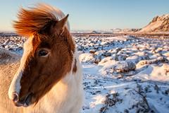 Icelandic horse (Daniel Caridade) Tags: sunset travel animal horse iceland viagem pôrdosol cavalo islândia