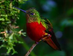 Chestnut-breasted Coronet (Boissonneaua matthewsii) (2) (Mahmoud R Maheri) Tags: hummingbird bird chestnutbreastedcoronet guangoriver ecuador quito guango forest tree twig colourful