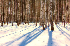 Awaiting of Spring (gráce) Tags: forest wood grove birch birches trees tree birchgrove birchforest snow snowyforest shadows shadowsonsnow light lensflare landscape nature naturesfinest naturewatcher canon canoneos550d