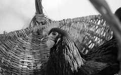 chicken in a basket (Jen MacNeill) Tags: blackandwhite bnw bw pentaxk1000 film analog australorp chicken black basket