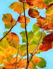 Colours For The Weekend (AnyMotion) Tags: apple apfel malus leaves blätter leaf blatt 2016 anymotion garden garten natur plants pflanzen tree baum frankfurt colours colors farben 7d2 canoneos7dmarkii mos2016