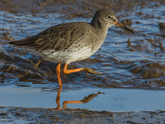 Redshank (Paul West ( pwest.me )) Tags: bird nature donnanook lincolnshire coastal waders turnstone redshank magpie
