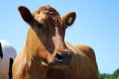 Sun Flower (excellentzebu1050) Tags: x2016cockerscowscamelscat dairycows cow cattle heifer farm outdoor animal animalportraits closeup h coth5
