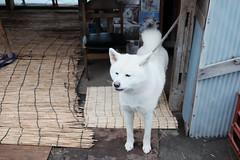 つばき (pon-ko) Tags: 青森 aomori 鰺ヶ沢 ajigasawa 犬 dog xt1