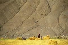 Rumptse fields (Niall Corbet) Tags: india ladakh himalaya himalayas manalitoley taglangla scree rumptse field harvest barley mountain