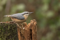 Nuthatch (Gary Hickson Photography L.R.P.S.) Tags: wildlife wild wildbird nature nikond750 nikon nuthatch england rspb animal bird birds european dorset d750