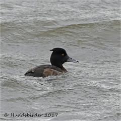 Female Tufted Duck (Huddsbirder) Tags: fz1000 panasonic fairburn ings rspb tufted duck