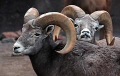 Barbarysheep, tedal burgerszoo JN6A1060 (j.a.kok) Tags: schaap dikhoornschaap sheep barbarysheep tedal mammal hoefdier bighornsheep burgerszoo burgerzoo herbivor zoogdier