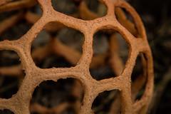 Clathrus ruber (zimpetra) Tags: zambezinationalpark zimbabwe mushroom stinkhorn clathrusruber