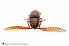 Click Beetle (Dicrepidius palmatus) 20120527_1828.jpg (Abbott Nature Photography) Tags: animals arthropodaarthropods coleopterabeetle elateridaeclickbeetles hexapoda insectainsects invertebratainvertebrates organismseukaryotes photography polyphaga technique whiteseamlessbackground smithville texas unitedstates us