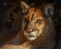 Mountain Lion (scott.flaherty) Tags: cougar mounainlion puma