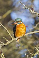Pose for the camera.... (TimEaster) Tags: kingfisher birdwatching batfordsprings harpenden orange blue bird