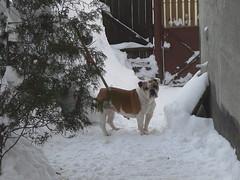 20170111_163612_1 (22MAIMU) Tags: pet pets dog dogs bulldog englishbulldog britishbulldog bullie cane bulldoginglese chien bouledogue bouledogueanglais hund buldogge englischebulldogge куче булдог английскибулдог σκύλοσ σκύλοσμπουλντόγκ αγγλικόμπουλντόγκ kutya buldog angolbulldog cão buldogue bulldoginglês собака бульдог английскийбульдог perro bulldoginglés köpek ingilizbulldog