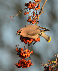 waxwing (Severnrover) Tags: waxwing winter uk berries bristol