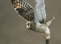 Short-eared Owl_Takeoff (Thomas Muir) Tags: asioflammeus flying tommuir woodcounty bowlinggreen ohio nikon 600mm d800