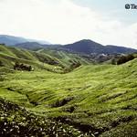 Tea Plantation, Cameron Highlands thumbnail
