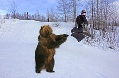 Sledding Alaska Style ;-) - With Some Help From A Friend! (AlaskaFreezeFrame) Tags: alaska alaskafreezeframe grizzly bear sledding sled winter fun funny photoshop created hill flying kids nature wildlife outdoors outdoor canon 70200mm action anchorage grizzlybear