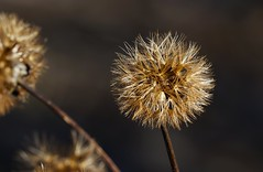 032:366-February 1-Gone To Seed (karendunne337) Tags: