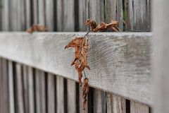 Sad looking fence (MomOfJasAndTam) Tags: hff fence friday happyfencefriday sad leaf leaves dry dried worn wear texture wood hang hanging dof depthoffield