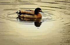 Brown Duck in the Ring (Steve Taylor (Photography)) Tags: bird duck brown digital water lake newzealand nz southisland canterbury christchurch hagleypark lines ripple ring