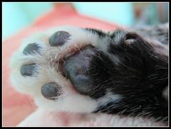 Patita de Morris (MaPeV) Tags: morris bellolindoguapetón gatos cats chats kawaii felin neko gatti gattini gattoni tabby chat katze gato kitty tabbyspoted powershot canon g16 patita paws paw garra garrita esponjillas