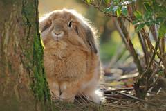 Backlit bunny behind a tree (Pog's pix) Tags: cutebunny notcheetohead dusty pet rabbit bunny houserabbit outdoors outdoor outside cute fluffy backlit bokeh tree leaves garden stewarton ayrshire eastayrshire scotland animal
