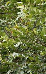 flowering Antarctic Beech at Comboyne (Lophozonia moorei) (Poytr) Tags: antarcticbeech nothofagaceae nothofagusmoorei nothofagus lophozoniamoorei warmtemperatearf warmtemperaterainforest arfp nswrfp qrfp comboyne tree rainforest whitearfflowers arfflowers