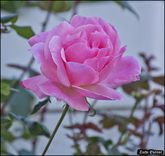 Rose at My-Garden-IZE-070 (Zachi Evenor) Tags: zachievenor israel mygarden garden gardening flower flowers 2017 ישראל גינתי גני גן גינה פרח פרחים פריחה גינון ורד ורדים שושנה שושנים rose roses rosa