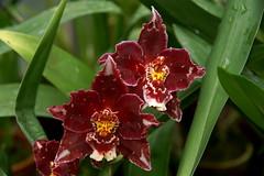 Odontioda n.r. (rolf_leon) Tags: orchideen orchids orchidées odontoglossum oncidium odontioda