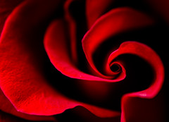 What is Love? (Linda Dyer Kennedy) Tags: red abstract flower love rose heart questionmark valentines