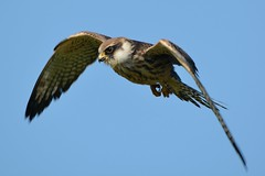 Focus. (stonefaction) Tags: red nature birds scotland wildlife aberdeen falcon ness girdle footed
