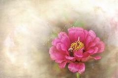 Pink lady (mamietherese1) Tags: texture artdigital innamoramento diamondclassphotographer flickrdiamond world100f phvalue 200v200c2000v untouchabledream universeofphotography