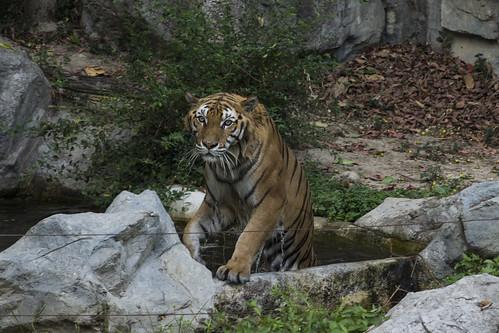 虎 / Tiger