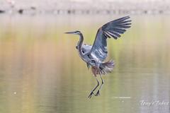 Great Blue Heron landing sequence - 3 of 7