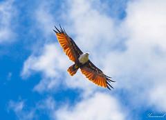 Indian Eagle (Yanimal74) Tags: eagle srilanka aigle anuradapura