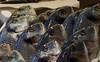 Orate al Mercato (Melvintay) Tags: pesce orata