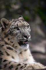 Snow leopard (Reinfox) Tags: park portrait snow animal canon mammal is x leopard ii tama usm snowleopard 動物 eos1d zoological 多摩動物公園 tamazoo f28l tamazoologicalpark pantherauncia 1dx ef300mm 雪豹 哺乳類 ユキヒョウ canonef300mmf28lisiiusm ef300mmf28lisiiusm canoneos1dx eos1dx