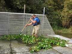 Cleaning Water Hyacinth off the Tuolumne River Weir