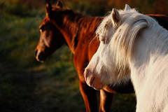 Early Risers (Dan Haug) Tags: horses manotick ottawa morning xt1 xf55200mmf3548rlmois sooc fujifilm contrast october 2015 mitchowensroad frosty outdoor sundance ranch explore explored