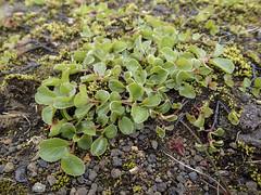 Grávíðir - Seidenhaarige Weide (Salix glauca) - Laugavegur - Trekking auf Island