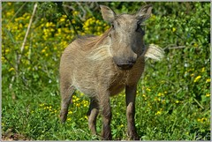 DSC_9218 Vlakvark in Addo (johann.spies) Tags: warthog vlakvark krugerwildtuin2015 addo2015