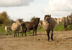 blauwe kamer-9646 (gerbenbovendorp) Tags: horse animal paard konikpaard