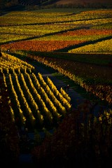 Colors of autumn (fnumrich) Tags: autumn vineyard structure weinstadt