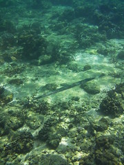 Trumpet fish (JnyAroundTheWorld - thanks for your comments!) Tags: fauna underwater starfish snorkelling reef philipines pilipinas elnido palawan corel miniloc minilocresort bacuitarchipelago bacuitislands