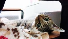 Bill the little princess (Steve only) Tags: cats bill 5 cellphone nexus