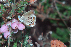 1986_63_30_edited-1 (Clive Webber) Tags: ashdownforest lycaenidae plebejusargus silverstuddedblue
